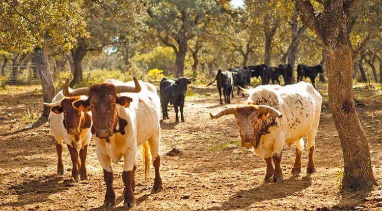 Conoce toros bravos y caballos con niños en Ronda: Reservatauro