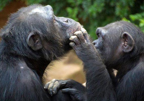 bioparc expo fotos instantes salvajes emocion chimpancés jugando