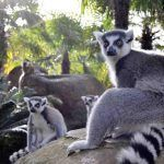 Lemur Bioparc Fuengirola