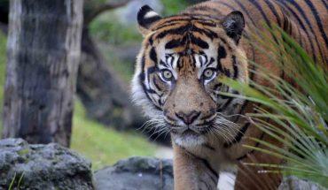 Tigre Bioparc Fuengirola
