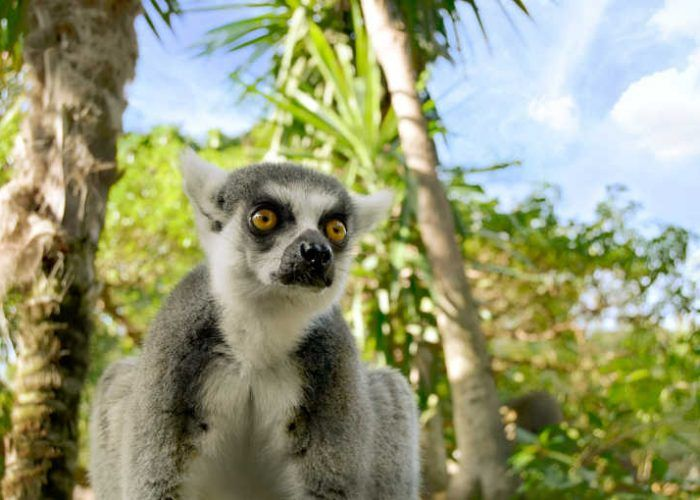 Bioparc Fuengirola. Lemur