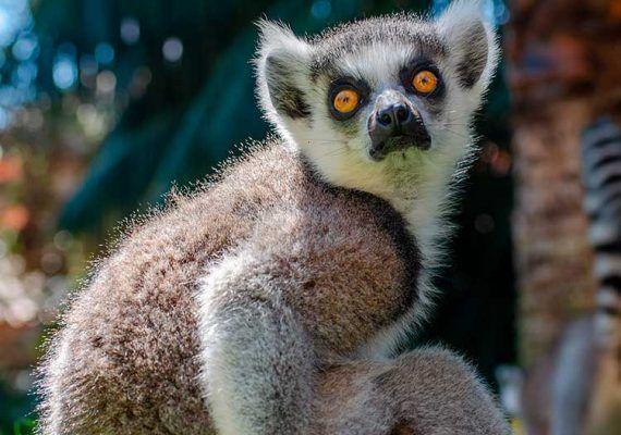 Taller para niños 'El lemúr ecológico' en Bioparc Fuengirola