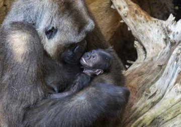 Conoce con niños y en familia al primer gorila nacido en Andalucía, en Bioparc Fuengirola