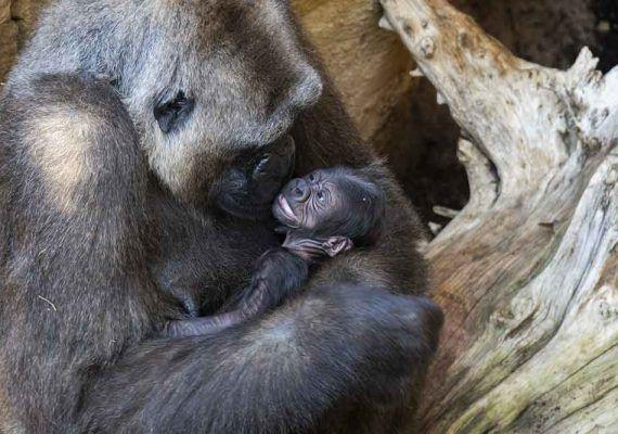Conoce con niños y en familia al primer gorila nacido en Andalucía en Bioparc Fuengirola