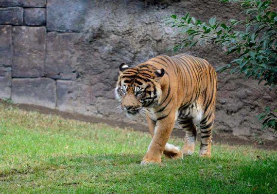 Bioparc Fuengirola nos explica cómo marca un tigre de Sumatra su territorio