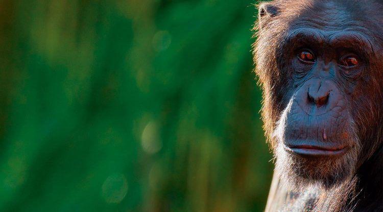 14 de julio: Día Internacional del chimpancé