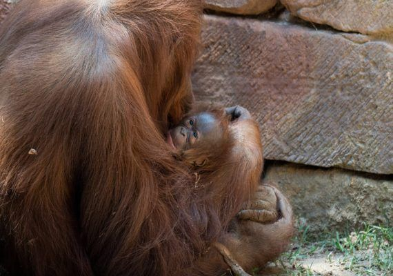 Nace un orangután de Borneo en Bioparc Fuengirola